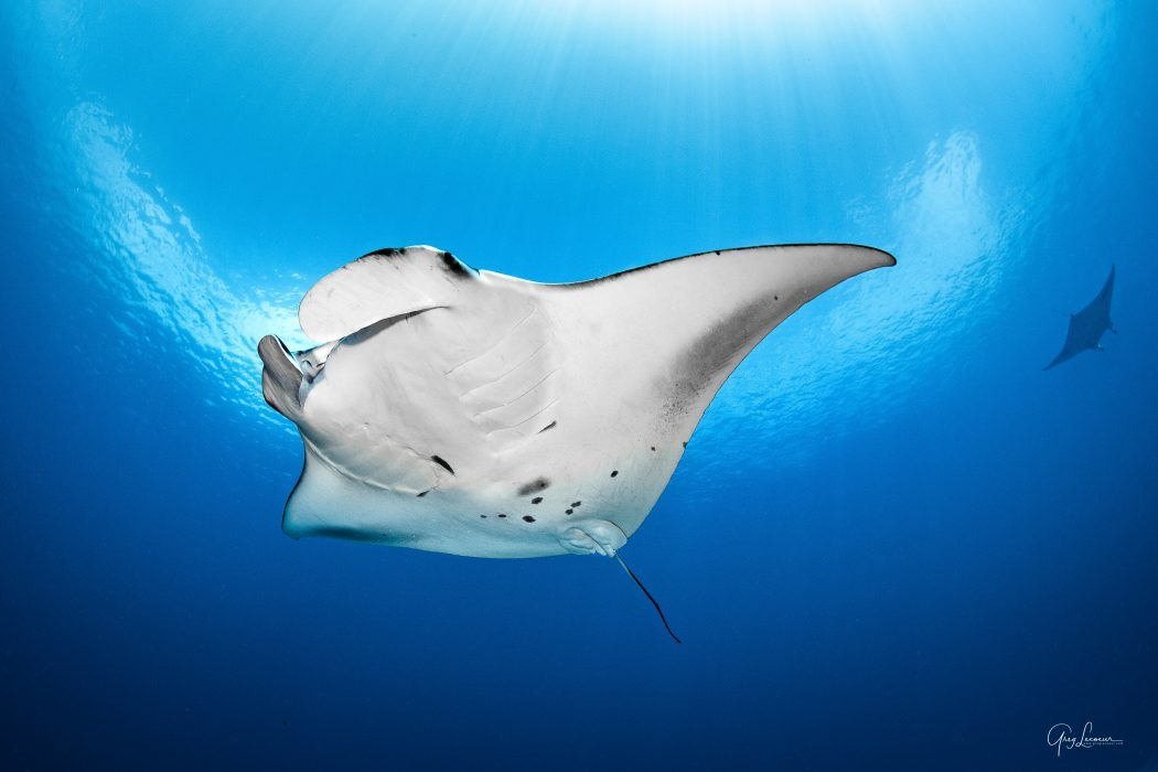Manta Ray photographed in Indian Ocean around Shangri-La Mauritius